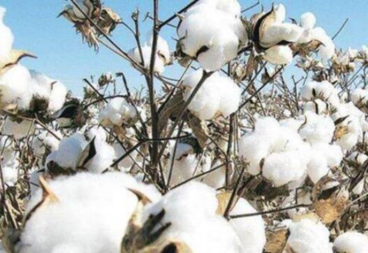 哈马德·阿扎尔说巴基斯坦将从印度进口糖棉花